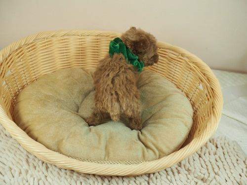 トイプードルの子犬(ID:1255511467)の4枚目の写真/更新日:2020-10-02