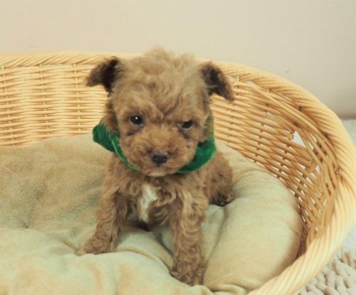 トイプードルの子犬(ID:1255511467)の5枚目の写真/更新日:2020-10-02