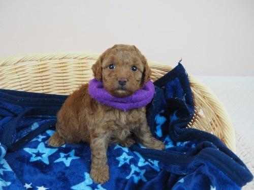 トイプードルの子犬(ID:1255511468)の1枚目の写真/更新日:2020-10-02