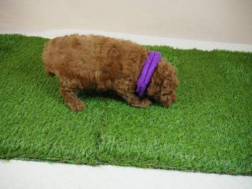 トイプードルの子犬(ID:1255511468)の2枚目の写真/更新日:2020-10-02