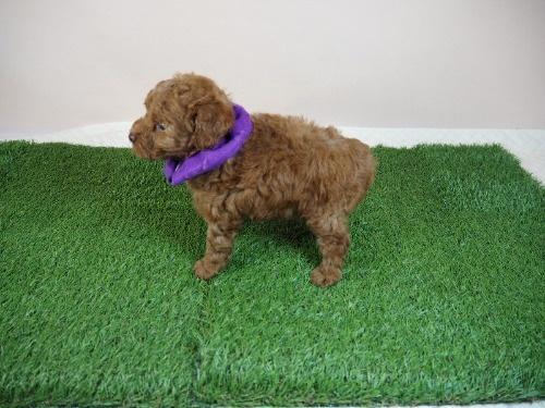 トイプードルの子犬(ID:1255511468)の3枚目の写真/更新日:2020-10-02