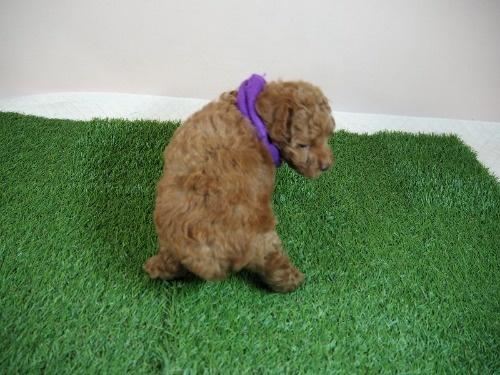 トイプードルの子犬(ID:1255511468)の4枚目の写真/更新日:2020-10-02