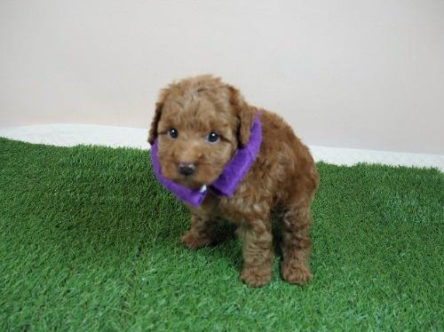 トイプードルの子犬(ID:1255511468)の5枚目の写真/更新日:2020-10-02