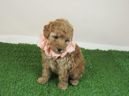 トイプードルの子犬(ID:1255511469)の1枚目の写真/更新日:2020-10-12