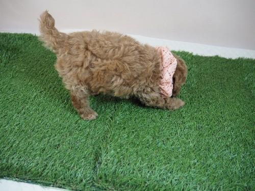 トイプードルの子犬(ID:1255511469)の2枚目の写真/更新日:2020-10-12