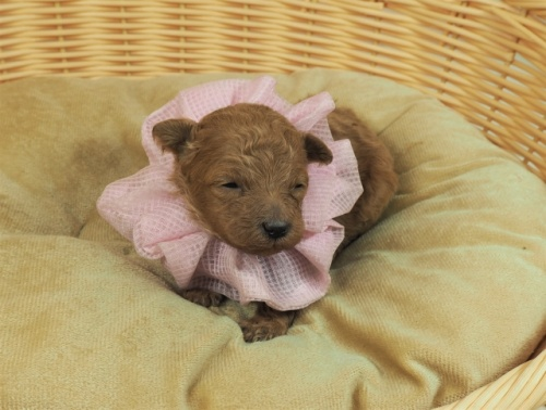 トイプードルの子犬(ID:1255511469)の5枚目の写真/更新日:2020-10-12