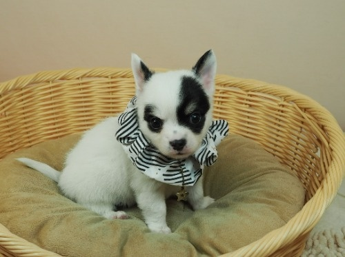 チワワ(ロング)の子犬(ID:1255511470)の1枚目の写真/更新日:2020-10-22