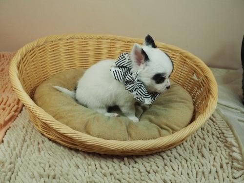 チワワ(ロング)の子犬(ID:1255511470)の2枚目の写真/更新日:2020-10-22