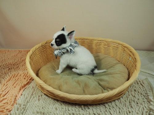 チワワ(ロング)の子犬(ID:1255511470)の3枚目の写真/更新日:2020-10-22