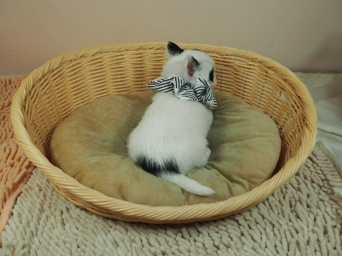 チワワ(ロング)の子犬(ID:1255511470)の4枚目の写真/更新日:2020-10-22