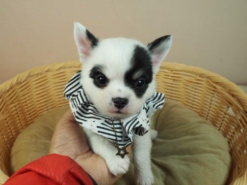 チワワ(ロング)の子犬(ID:1255511470)の5枚目の写真/更新日:2020-10-22
