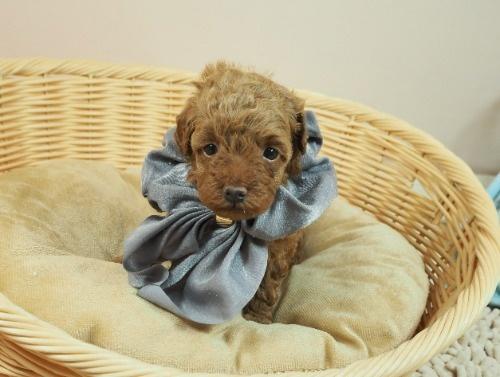トイプードルの子犬(ID:1255511474)の1枚目の写真/更新日:2020-11-19
