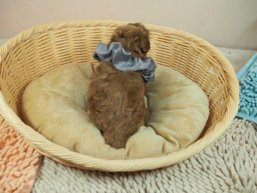 トイプードルの子犬(ID:1255511474)の4枚目の写真/更新日:2020-11-19