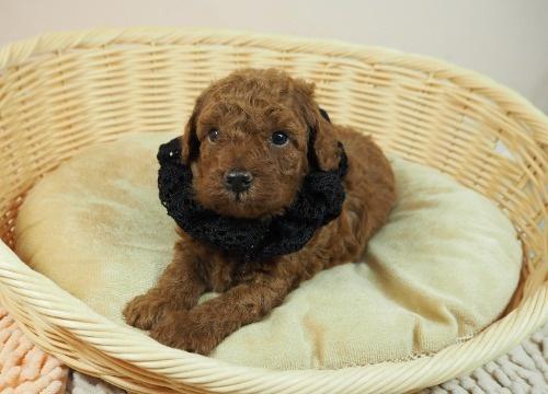 トイプードルの子犬(ID:1255511475)の1枚目の写真/更新日:2020-11-19