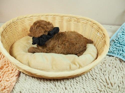 トイプードルの子犬(ID:1255511475)の3枚目の写真/更新日:2020-11-19