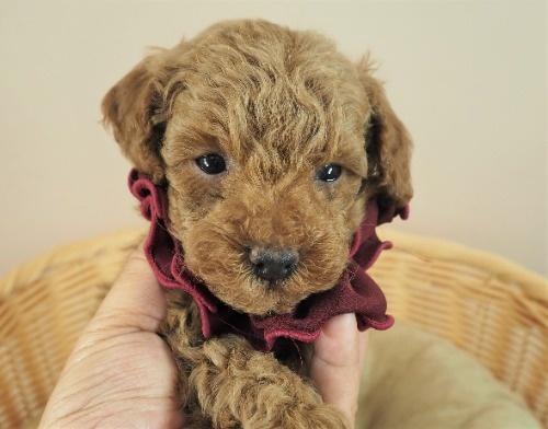 トイプードルの子犬(ID:1255511476)の1枚目の写真/更新日:2020-11-19