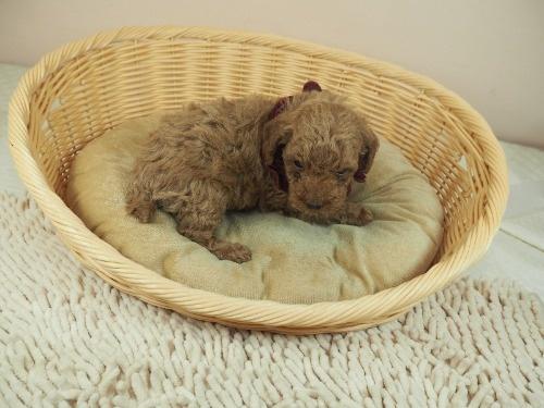 トイプードルの子犬(ID:1255511476)の2枚目の写真/更新日:2020-11-19