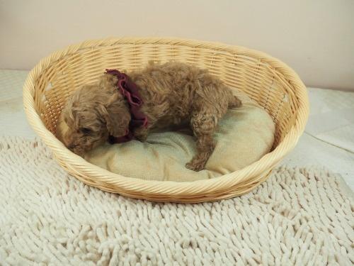 トイプードルの子犬(ID:1255511476)の3枚目の写真/更新日:2020-11-19
