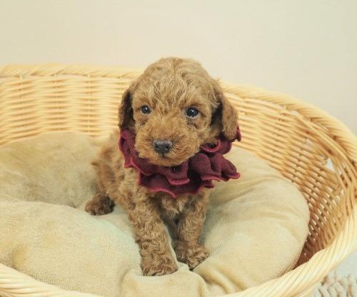 トイプードルの子犬(ID:1255511476)の5枚目の写真/更新日:2020-11-19