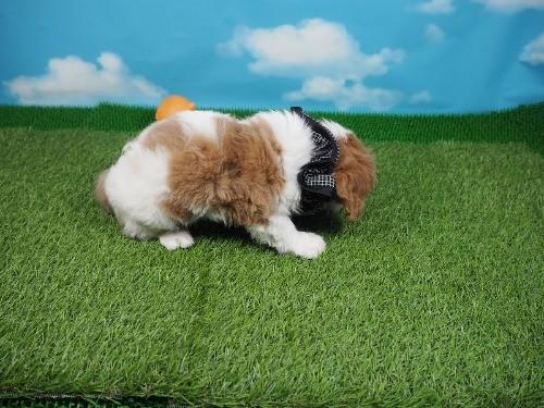 キャバリアの子犬(ID:1255511478)の2枚目の写真/更新日:2020-11-19
