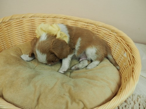 キャバリアの子犬(ID:1255511478)の3枚目の写真/更新日:2020-11-19