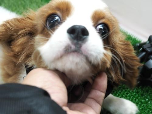 キャバリアの子犬(ID:1255511478)の5枚目の写真/更新日:2020-11-19