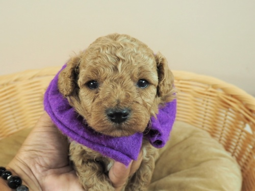 トイプードルの子犬(ID:1255511479)の1枚目の写真/更新日:2020-11-19