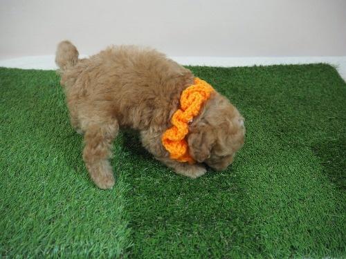 トイプードルの子犬(ID:1255511479)の2枚目の写真/更新日:2020-11-19