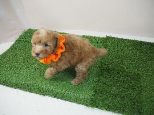トイプードルの子犬(ID:1255511479)の3枚目の写真/更新日:2020-11-19