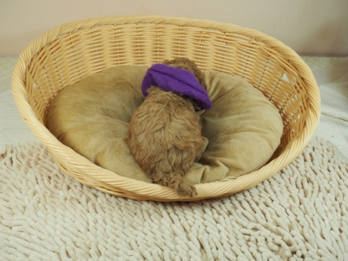 トイプードルの子犬(ID:1255511479)の4枚目の写真/更新日:2020-11-19
