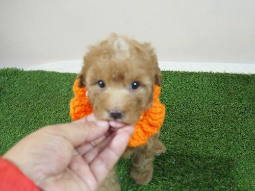トイプードルの子犬(ID:1255511479)の5枚目の写真/更新日:2020-11-19