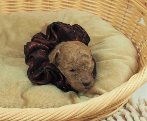 トイプードルの子犬(ID:1255511480)の1枚目の写真/更新日:2020-11-19