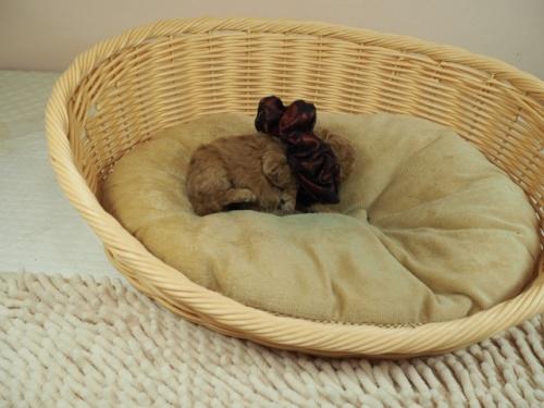 トイプードルの子犬(ID:1255511480)の2枚目の写真/更新日:2020-11-19