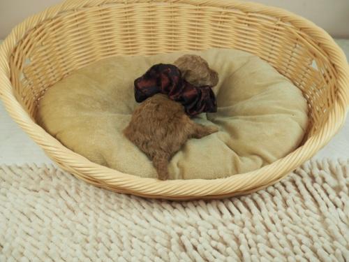 トイプードルの子犬(ID:1255511480)の4枚目の写真/更新日:2020-11-19