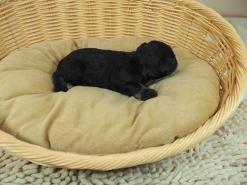 ミニチュアシュナウザーの子犬(ID:1255511485)の2枚目の写真/更新日:2020-12-14
