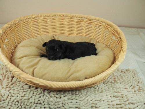 ミニチュアシュナウザーの子犬(ID:1255511485)の3枚目の写真/更新日:2020-12-14