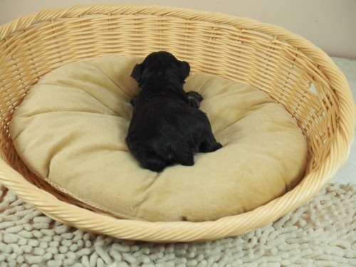 ミニチュアシュナウザーの子犬(ID:1255511485)の4枚目の写真/更新日:2020-12-14