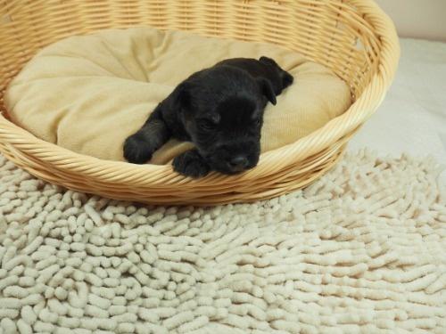 ミニチュアシュナウザーの子犬(ID:1255511485)の5枚目の写真/更新日:2020-12-14