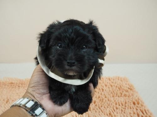 トイプードルの子犬(ID:1255511486)の1枚目の写真/更新日:2021-01-29