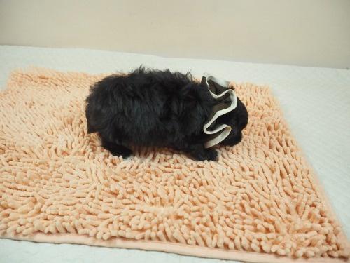 トイプードルの子犬(ID:1255511486)の2枚目の写真/更新日:2021-01-29