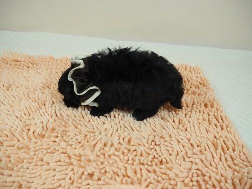 トイプードルの子犬(ID:1255511486)の3枚目の写真/更新日:2021-01-29