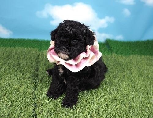 トイプードルの子犬(ID:1255511487)の1枚目の写真/更新日:2021-04-15