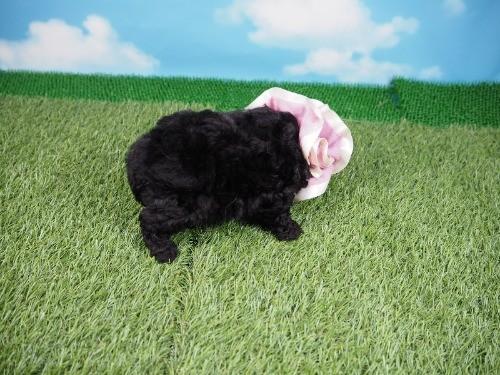 トイプードルの子犬(ID:1255511487)の2枚目の写真/更新日:2021-04-15