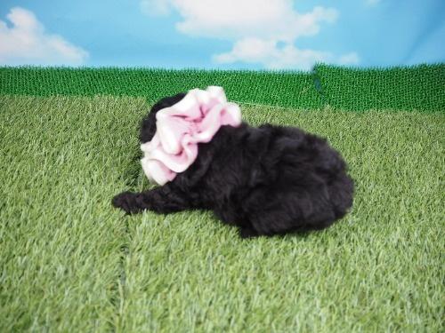 トイプードルの子犬(ID:1255511487)の3枚目の写真/更新日:2021-04-15