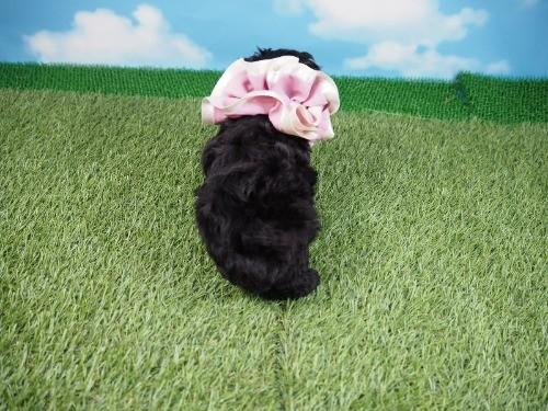 トイプードルの子犬(ID:1255511487)の4枚目の写真/更新日:2021-04-15