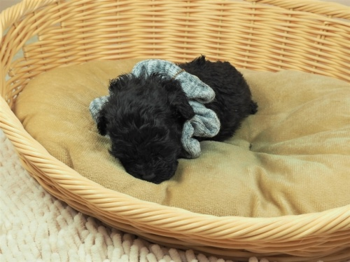 トイプードルの子犬(ID:1255511487)の5枚目の写真/更新日:2021-04-15