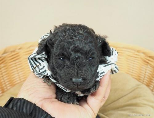 トイプードルの子犬(ID:1255511488)の1枚目の写真/更新日:2021-02-04