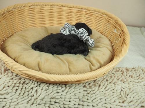 トイプードルの子犬(ID:1255511488)の2枚目の写真/更新日:2021-02-04