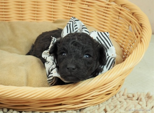 トイプードルの子犬(ID:1255511488)の3枚目の写真/更新日:2021-02-04