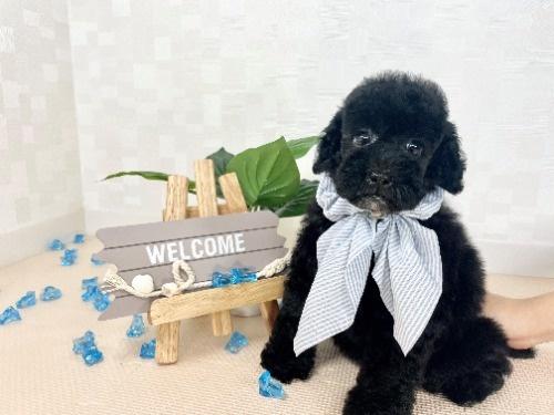 トイプードルの子犬(ID:1255511489)の1枚目の写真/更新日:2021-04-15